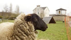 Schafhaltung in der Strasse 'zur Burg'